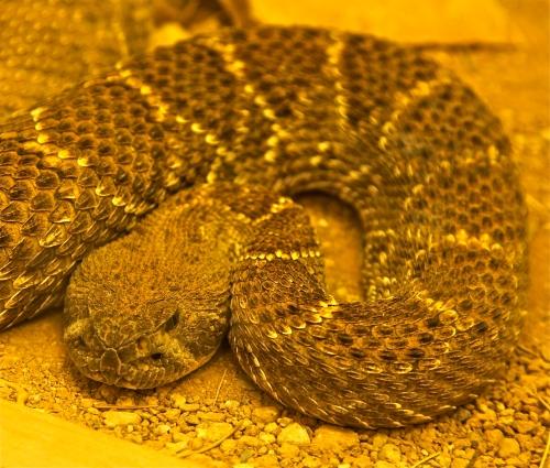 Western Diamondback Rattlesnake, melanistic variation