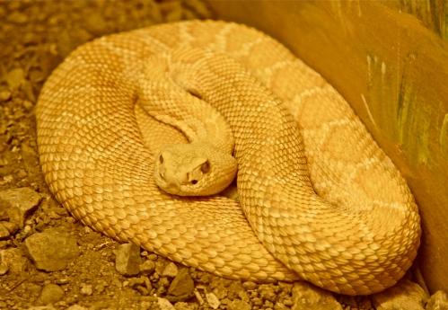 Leucistic Western Diamondback Rattlesnake