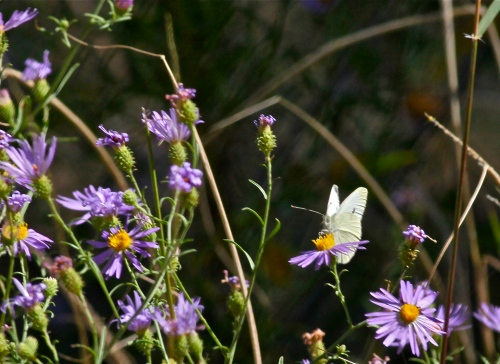 Cabbage White Butterfly on Wild Purple Aster