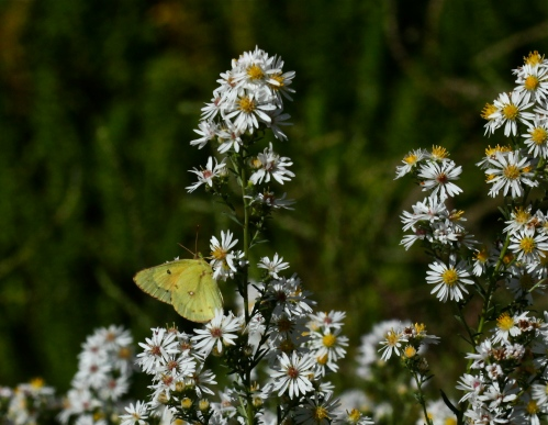 Clouded Sulphur Butterfly on Small-flowered White Aster