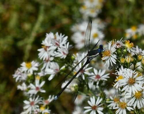 Great Spreadwing, Another View