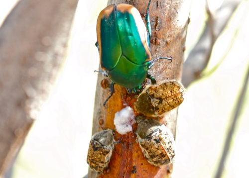 Figeather Beetle and Smaller Beetles Eating Tree Sap