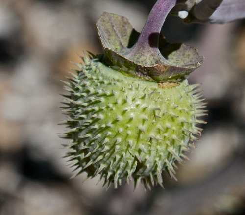 Jimsonweed fruit