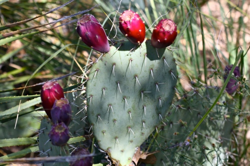 Prickly-pear cactus with ripe tunas