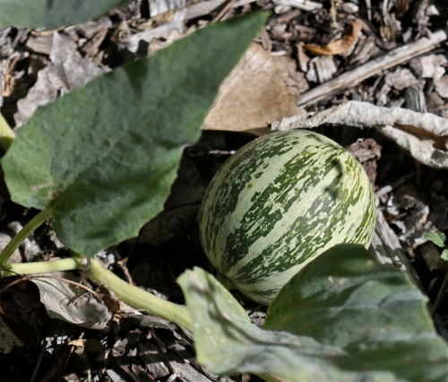 New Mexico Native Squash
