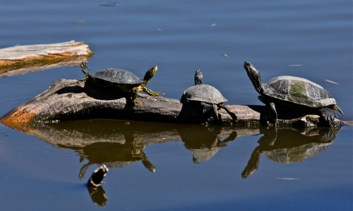 Red-eared Sliders at the Rio Grande Nature Center