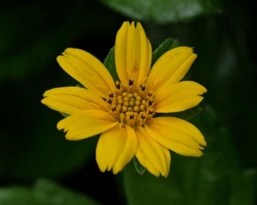 Ko'oko'olau plant Limahuli Garden, Ha'ena, Kaua'i