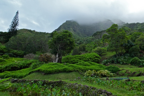 View up the mountainside at Limahuli Garden Ha'ena, Kaua'i.