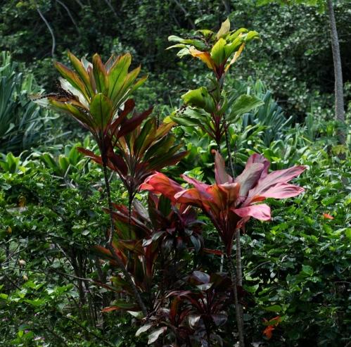 Ki (Ti) plants, Limuhuli Garden, Hae'na, Kaua'i.