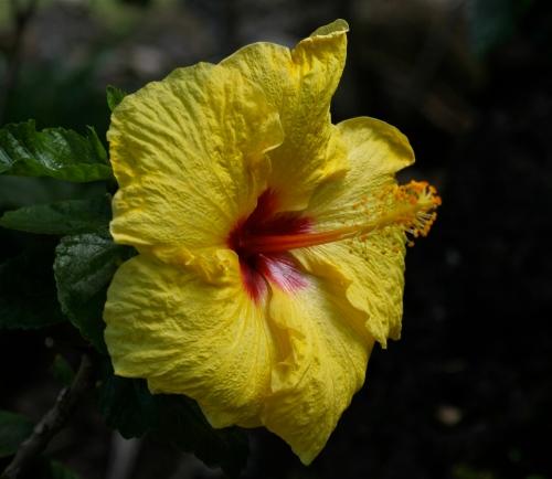 Hibiscus flower at Limahuli Garden Ha'ena, Kaua'i.