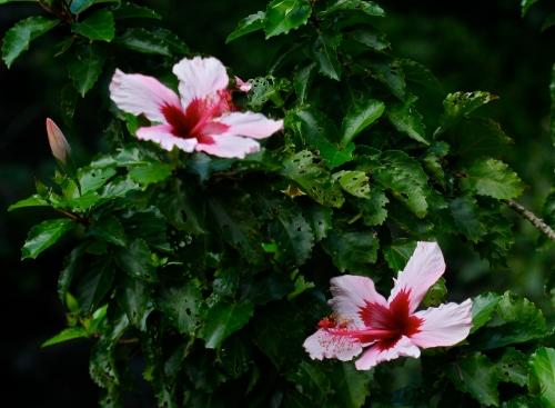 Hibiscus flowers at Limahuli Garden Ha'ena, Kaua'i.