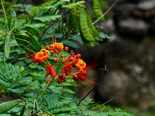 Royal Poinciana flowering tree at Limahuli Garden Ha'ena, Kaua'i.