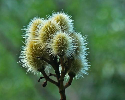 `Ōhi`a lehua flower, Limahuli Garden, Ha'ena, Kaua'i.