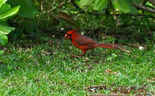 Northern Cardinal, Limhule Garden, Ha'ena, Kaua'i.