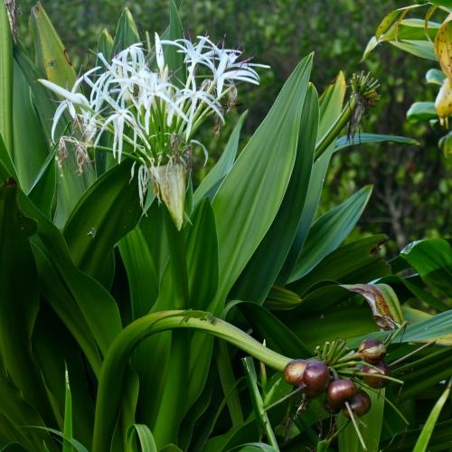 Queen Emma lily, Limahuli Garden, Ha'ena, Kaua'i.