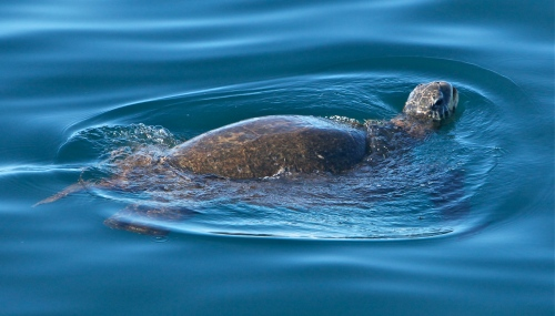 Hawai'ian Green Sea Turtle (Honu).