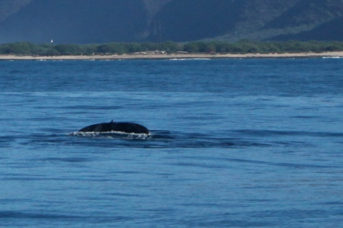 Humpback Whale seen off Barking Sands Beach.