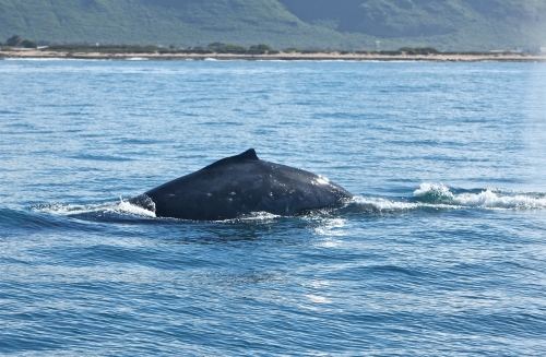 Migrating Humpback Whale