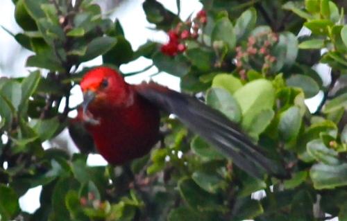 'Apapane, Pu'u o Kila Lookout, Waimea Canyon, Kaua'i, Hawai'i.