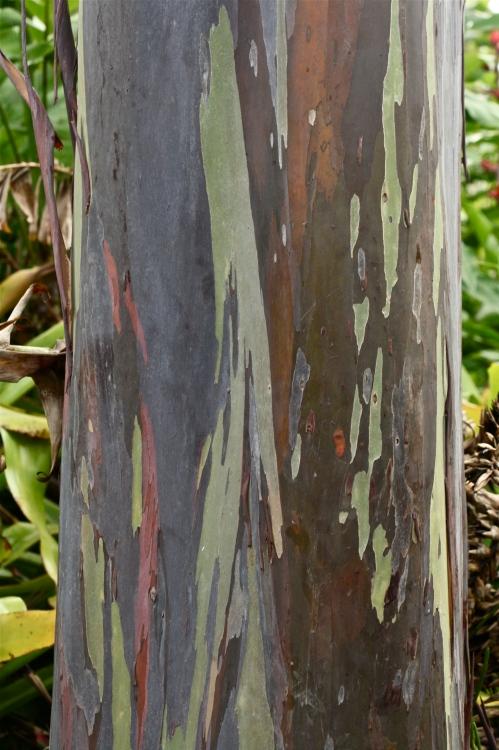 Mindanoa Gum tree (Eucalyptus deglupta)