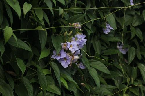 Hawaiian Baby Woodrose (Argyreia nervosa).
