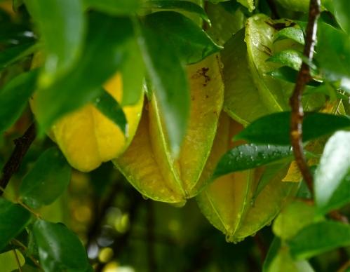 Starfruit (Averrhoa carambola).