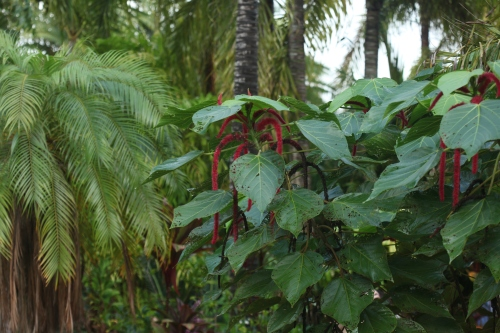 Chenille plant (Acalypha hispida).