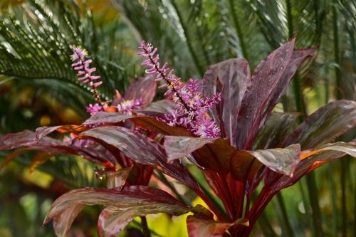 Ornamental Ti, Ki ( Cordyline australis)