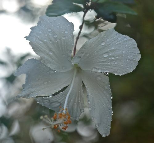 Hawaiian White Hibiscus, Koki'o Kea (Hibiscus immaculatus)