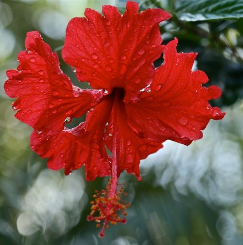 Hawaiian red hibiscus Kokio, Kokio Ula, Kokio Ulaula, Maku (Hibiscus kokio)