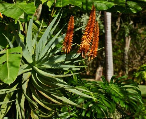 Aloe vera, Agavaceae, Barbados aloe, medicinal aloe.