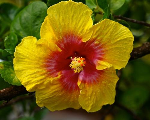 Native Yellow Hibiscus Pua Aloalo or Ma`o-hau- hele (Hibiscus brackenridgei A. Gray)