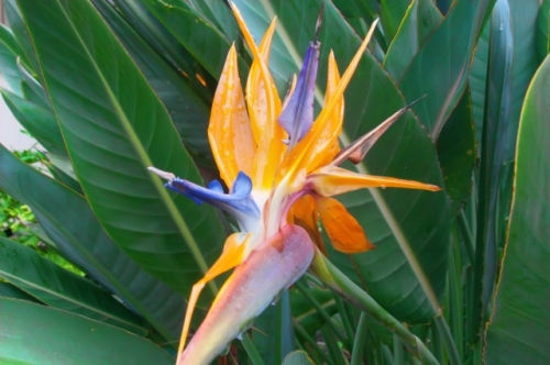 Bird of Paradise (Strelitzia reginae).