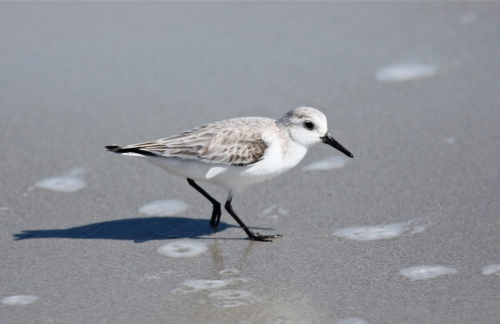 Sanderling foraging on the beach.