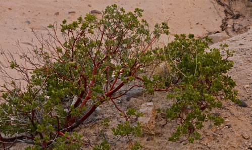 Manzanita shrub, a closer view.
