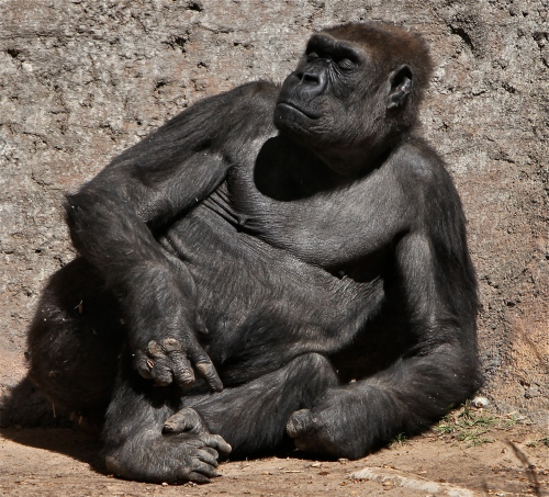 Lowland Gorilla in repose.