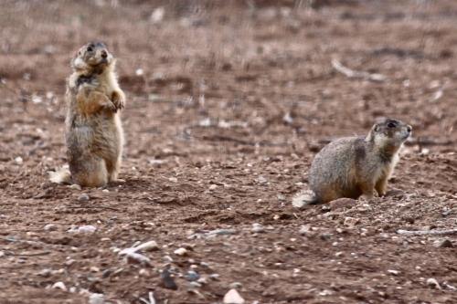 Gunnison's Prairie Dogs, Taos New Mexico.