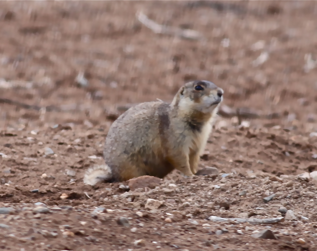 Image Result For Prairie Dog Coloring