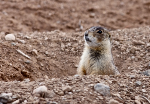 Gunnison's Prairie Dog in the burrow.