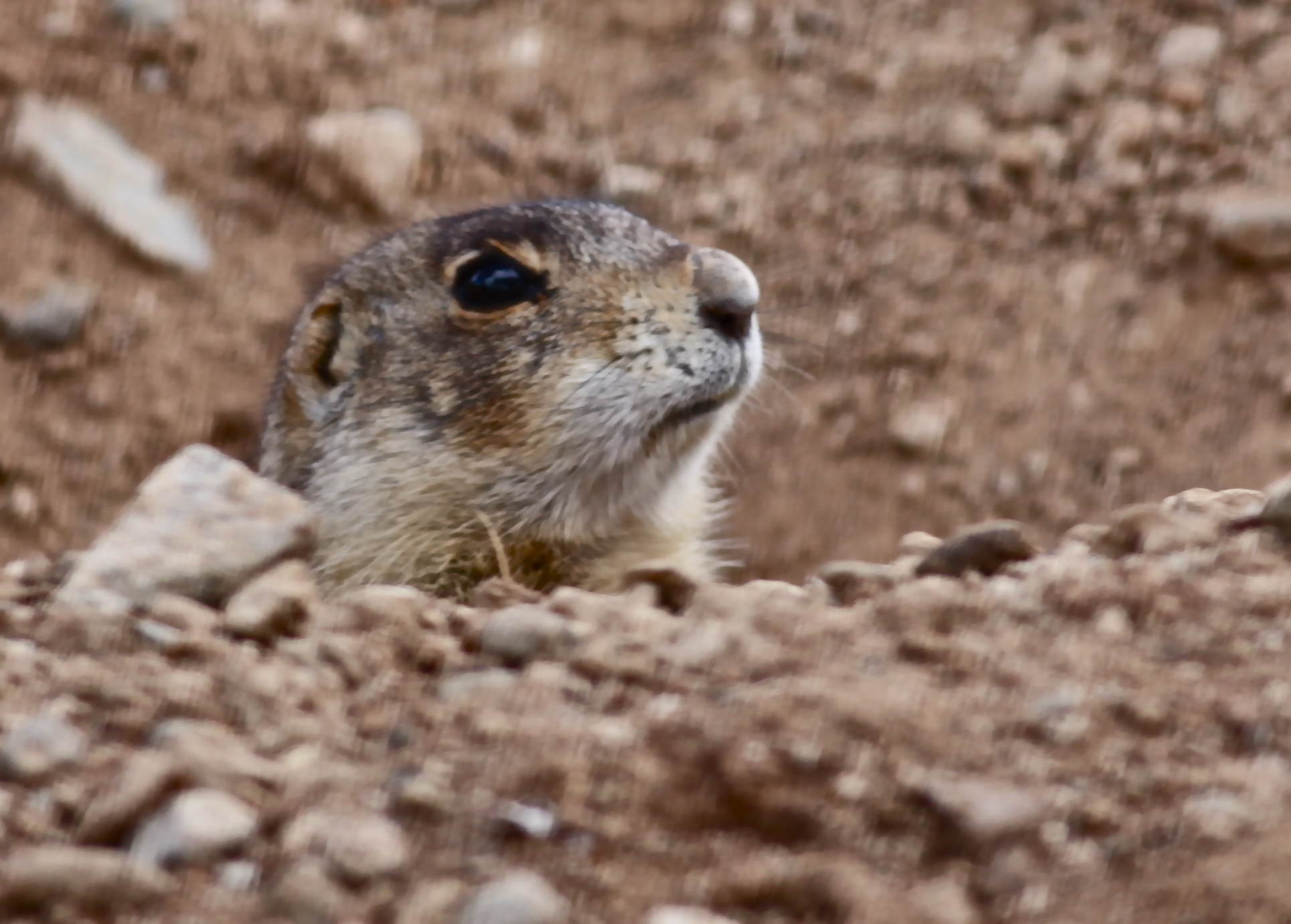 prairie dogs Prairie dogs live in underground burrows, extensive warrens of tunnels and  chambers marked by many mounds of packed earth at their surface entrances.