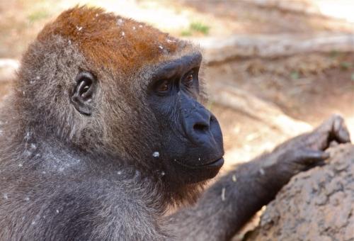 Lowland Gorilla, Rio Grande Zoo