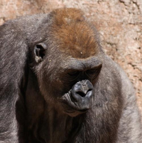 Lowland Gorilla, Rio Grande Zoo, Albuquerque, New Mexico.