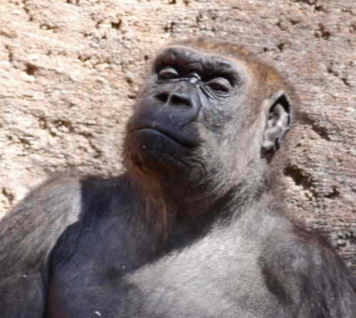 Lowland Gorilla in repose, a closer view.