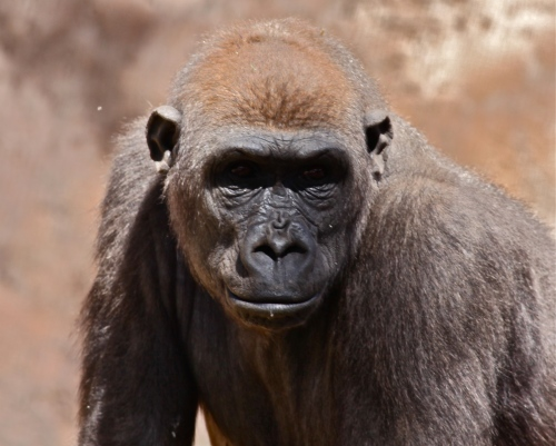 A young Lowland Gorilla,