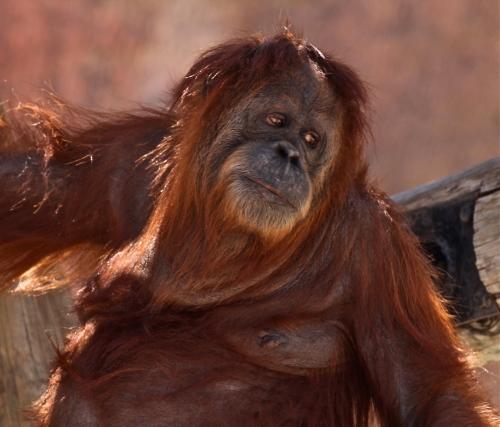 Orangutan, Rio Grande Zoo.