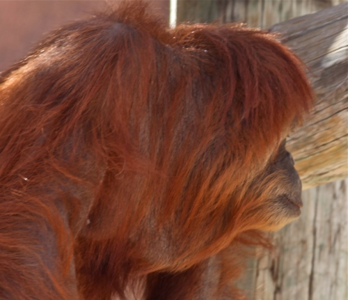 Orangutan contemplation.