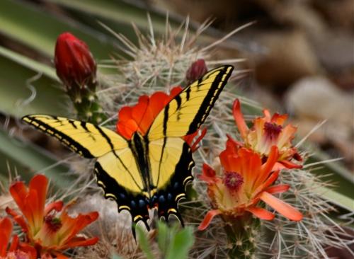 Western Swallowtail Butterfly