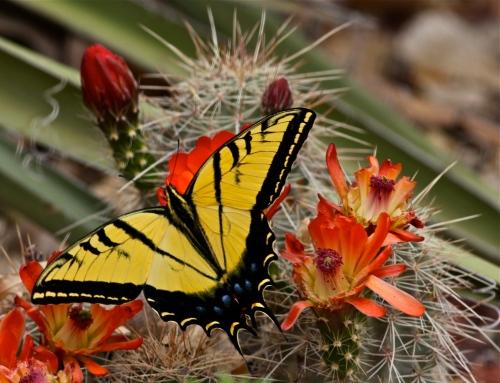 Western Swallowtail Butterfly,