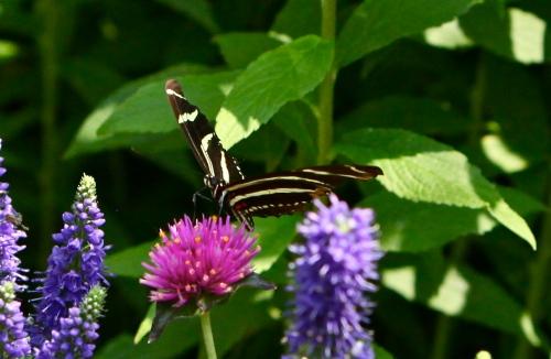 Zebra Longwing, (Heliconius charitonius)