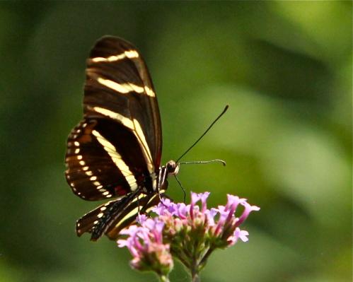 Zebra Longwing, Albuquerque Biopark